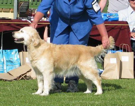 golden retriever puppies auckland seacove golden retrievers german shepherds new