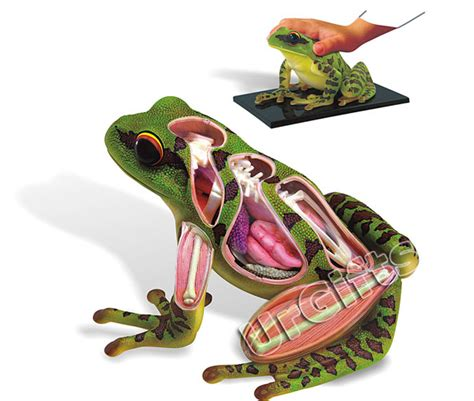 3d Puzzle Frog By Bimbozone 4d vision puzzle animal anatomy series 3d model frog ebay