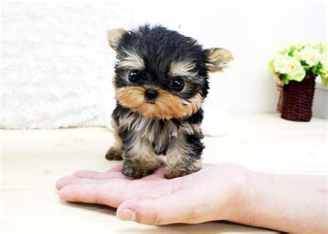 baby yorkies adoption 25 best ideas about teacup yorkie on mini