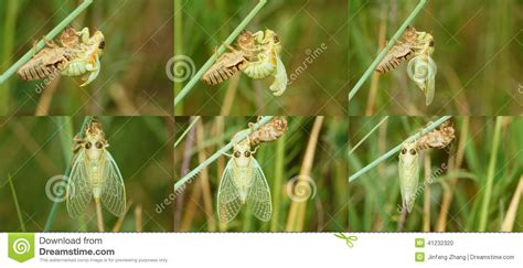 Scientific Name Of Grass by Grass Cicada Emergence Stock Photo Image 41232320