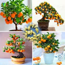 40 bag bonsai orange tree seeds organic fruit tree seeds