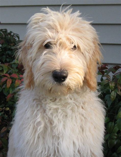 goldendoodle haircuts short cut on goldendoodle goldendoodle haircuts pinterest