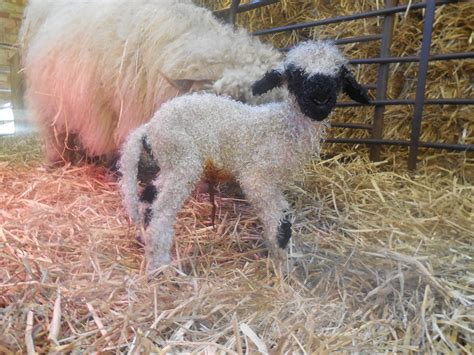 swiss valais blacknose church farm stow bardolph