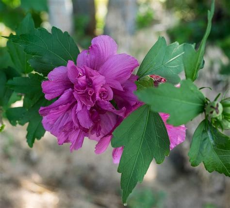 What Are The Gardening Zones - hibiscus syriacus