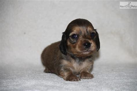 dachshund puppies for sale in alabama miniature dachshund puppies rescue breeds picture