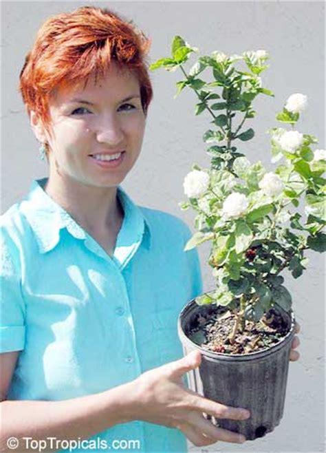 jasminum sambac toptropicalscom