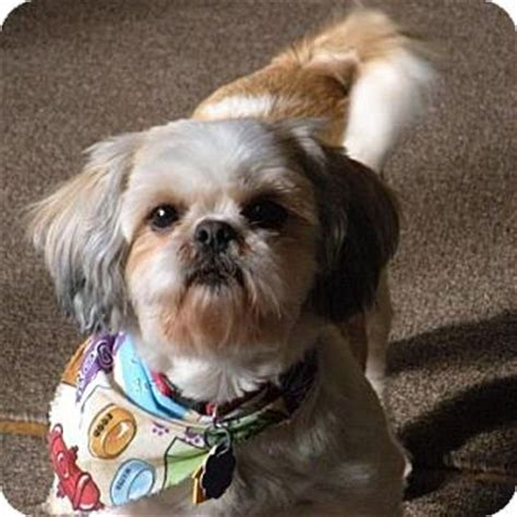 shih tzu puppies for adoption in ky chrissie adopted ky shih tzu