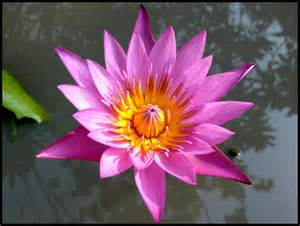 Definition Of A Lotus Flower Image Gallery Names Meaning Lotus Flower