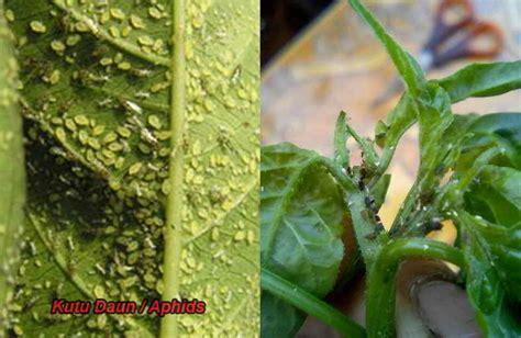 Obat Pengendalian Gulma Pada Tanaman Padi 10 cara uh mengatasi daun cabai keriting dan 3 sebab