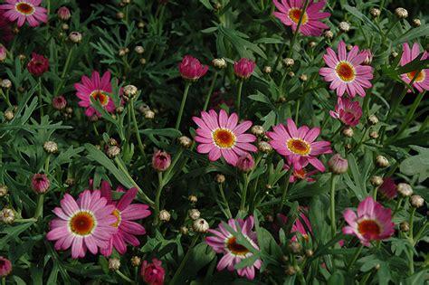 madeira deep pink marguerite daisy argyranthemum