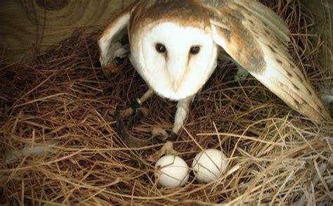 When Do Barn Owls Nest how to build a barn owl nest modern farmer