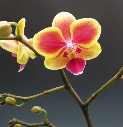 moth orchids orchidaceous orchid blog november 2010
