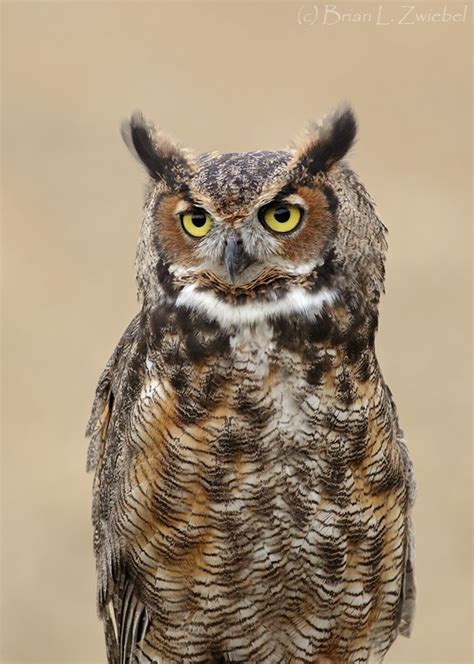 ohio s great horned owl central ohio native creatures