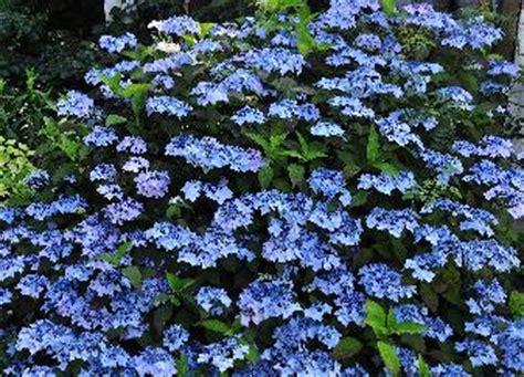 flur deckenle hydrangea serrata blue deckle hortensia japonais