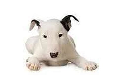 bull terrier puppies for sale in nj mid size bulldogs puppies for sale in westchester new york