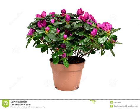 azalea in vaso pianta sbocciante dell azalea in vaso da fiori immagine