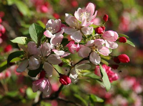crab apple tree blossoms photo hubert steed photos at pbase com