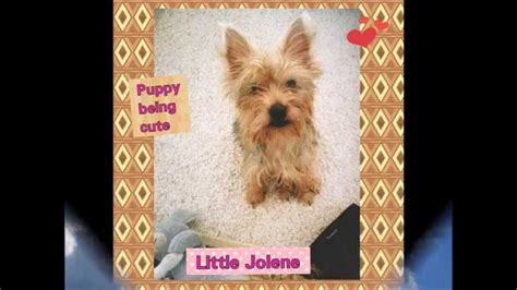 the cutest yorkie in the world jolene the cutest yorkie in the world