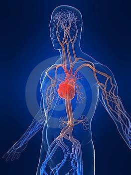 vasi epiaortici anatomia angiologia