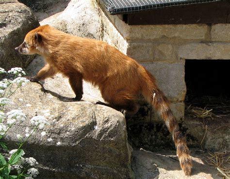 imagenes de animales wikipedia nasua nasua wikipedia la enciclopedia libre