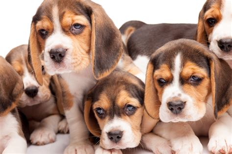 beagle puppies available beagle puppies available in tucson az
