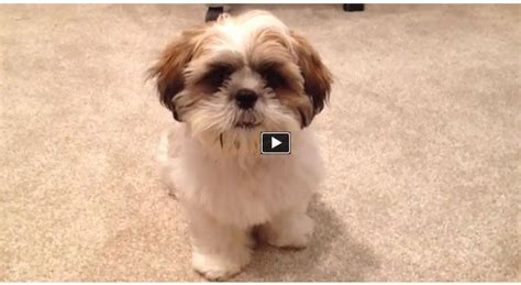 shih tzu puppy tricks best 25 tzu ideas on shih tzu puppy shih tzu and shih tzu