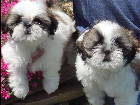 heavenly shih tzu halfway to heaven shih tzu shih tzu puppies for sale