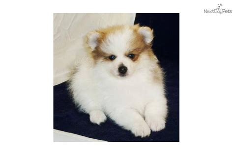 akc pomeranian meet a pomeranian puppy for sale for 350 akc pomeranian