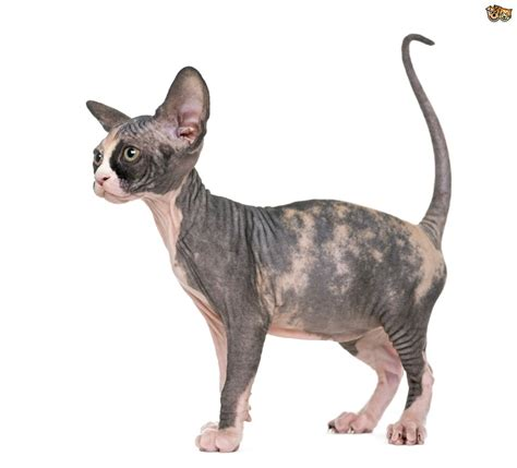Sphynx Cat Breed Information, Buying Advice, Photos and