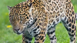 How Do Jaguars Live Which Forests Do Jaguars Live In Reference