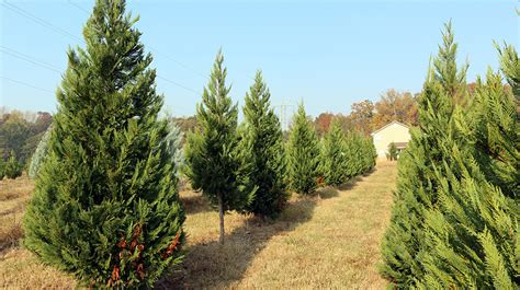 south carolina s christmas tree farmers have plenty of