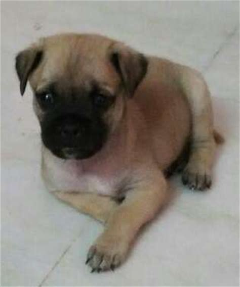 pug mix puppies for adoption pug pomeranian mix breed puppies for sale adoption from hyderabad andhra pradesh