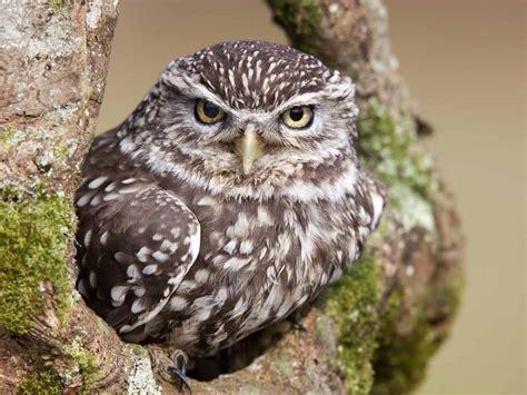 owl behaviour habitat origin saga