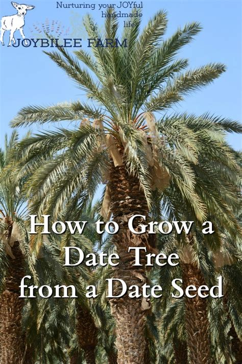 how to grow dates from how to grow a date tree from a date seed joybilee farm