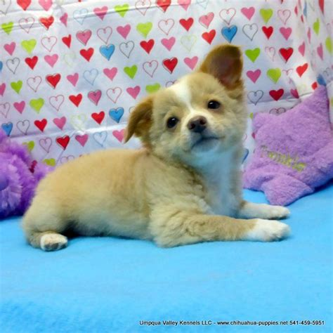 chihuahua puppies for sale mn best 25 chihuahua breeders ideas on teacup chihuahua puppies next day