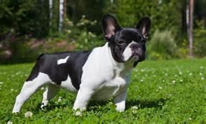 American Bulldog Puppies For Sale In Michigan » Home Design 2017