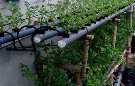 tahap mudah  tutorial lengkap menanam seledri