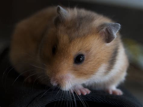Makanan Hamster Golden Hamster golden hamster wallpapers other pets wallpapers pictures free