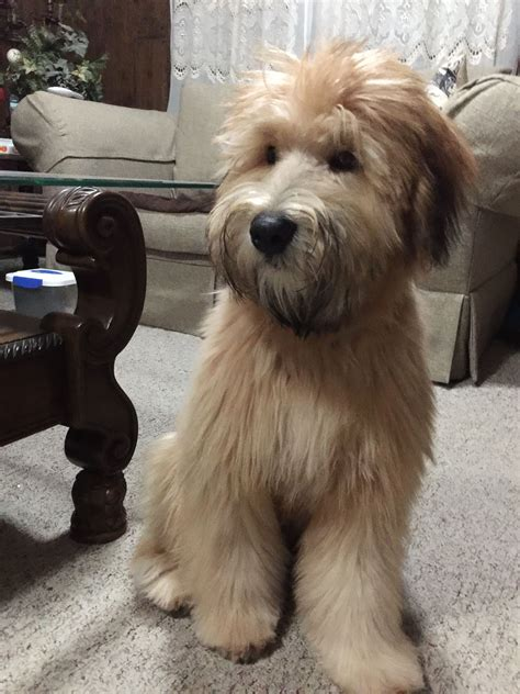 wheaten terrier short hsir cut remington my 6 month old soft coated wheaten terrier
