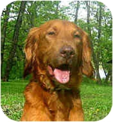 golden retriever jacksonville fl paddy adopted jacksonville fl golden retriever setter mix