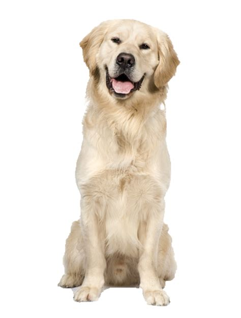 performance golden retrievers beds and collars for golden retrievers products for golden retrievers