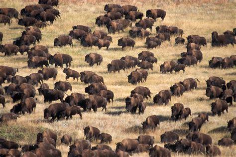 bison herd south dakota pictures south dakota - Amerikanischer Herd