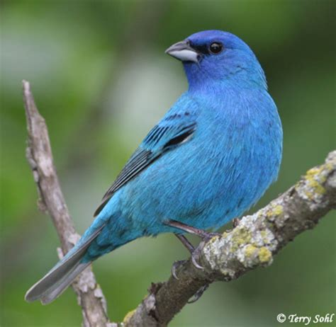 identification keys and tips quot blue quot grosbeaks and buntings