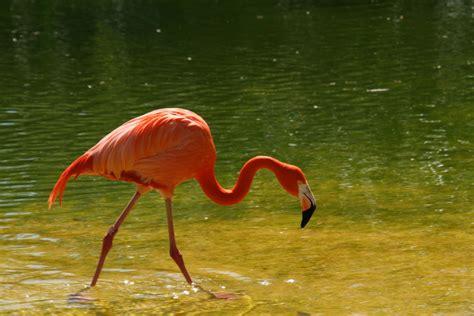 imagenes animal flamenco el flamenco imagen foto animales animales salvajes