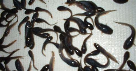 Pakan Alternatif Larva Ikan Lele teknik cara pembesaran ikan lele sangkuriang larva