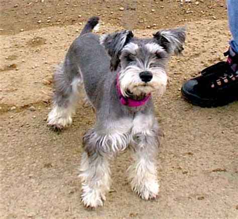 different hairstyles for miniature schnauzers schnauzer cut now that s cute dog do s pinterest