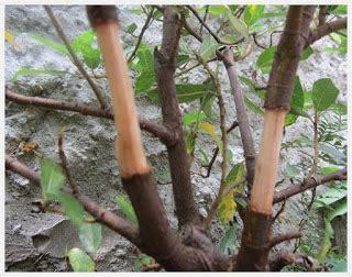 Pisau Okulasi Cangkok jonipermadi cara mencangkok tanaman