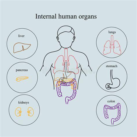 corpo umano anatomia organi interni organi interni in un corpo umano anatomia della gente