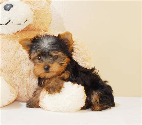 yorkie puppies montgomery al pets alabama free classified ads