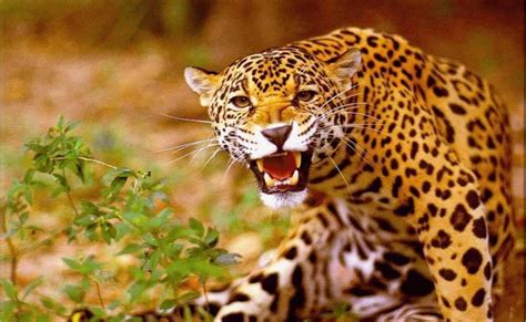 wallpaper animal jaguar